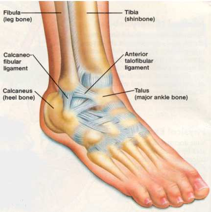 B) Ankle bones and ligaments